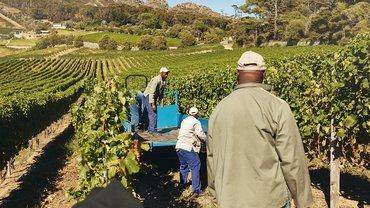 Wein Produktion Afrika