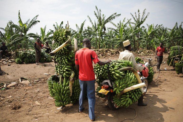 Bananentransport in Uganda